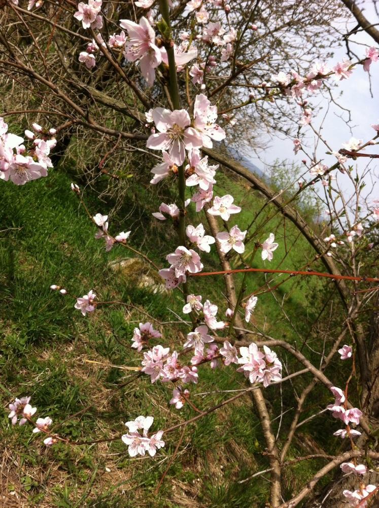 Auf der Suche nach der schönsten Kirschblüte (2/6)