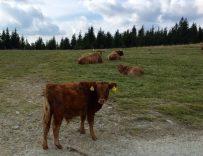 Hochwechsel Vieh