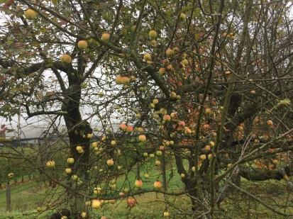 Steirische Äpfel im Nebel