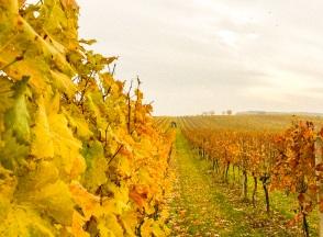 Weingärten bei Leithaprodersdorf