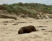Seelöwe am Strand von Waipapa