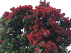 Pohutukawa-Baum