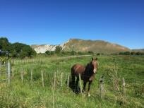 Neugieriges Pferd beim Muriwai Beach