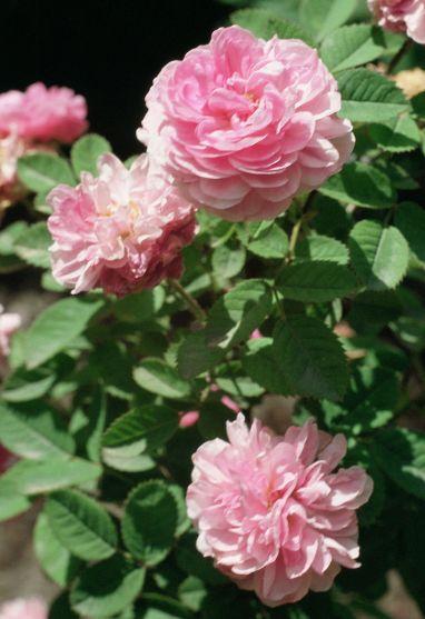 Damanzener-Rose