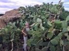 Beim Kaktusernten