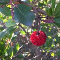 Corbezzolofrucht